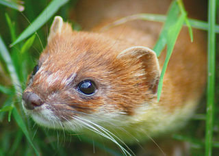 New Year Stoat